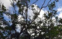Nakamooguwa Gajumaru (Banyan) Trees