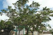 츄우모우 소의 가쥬마루 나무들