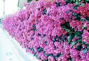 마을 꽃(부겐빌리아)