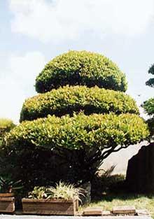 마을 나무(코쿠 탄)